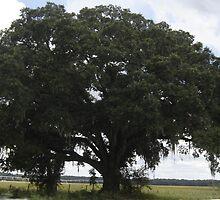 Huge Spreading Oak Tree by librapat