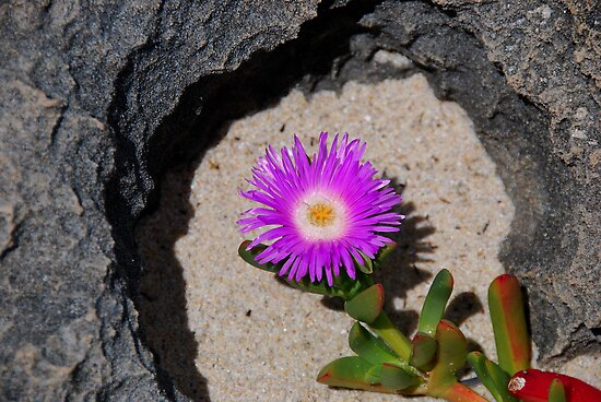 PIG FACE...(Carpobrotus glaucescens.) by HG. QualityPhotography