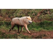 Never Trust a Smiling Wolf Photographic Print