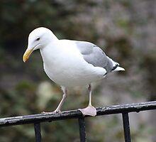 California Gull by Laurie Puglia