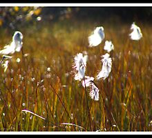 Cottongrass by magnemyhren