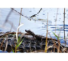 Baby Gator Catchin' A Ride Photographic Print