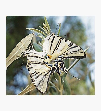 Mating Butterflies Photographic Print