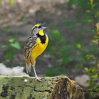 Meadowlark by Kate Adams