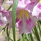 Desert Willow bloom by Ann  Warrenton