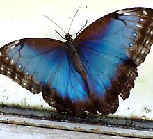 Blue Butterfly by funmom