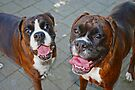 Hello -Boxer Dogs Series- by Evita