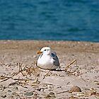 Cape Cod Gull by Jeannette Sheehy