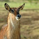 Waterbuck by Stephie Butler