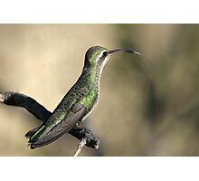 Broad-billed Hummingbird Female  Photographic Print