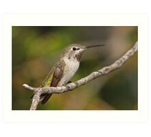 Anna's Hummingbird Female Art Print