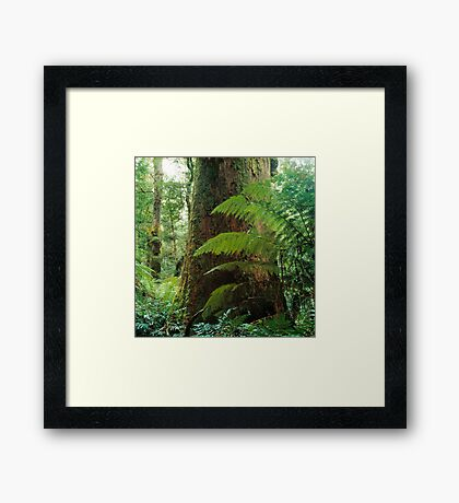 Mountain Ash, Victoria. Framed Print