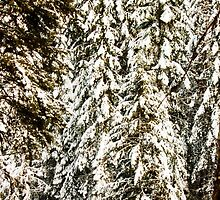 Photo of Snow Covered Pine Trees by griffingphoto