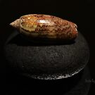 Olive Seashell on Black Stone by Mattie Bryant