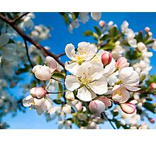 Crab Apple Blossom Cluster at Limb's End Photographic Print