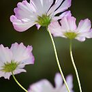 Dainty Pink Cosmos by Pamela Hubbard