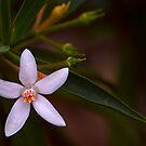 Australian native by Rosalie Dale