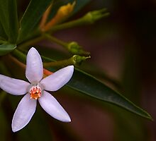 Australian native by Rosalie Dale