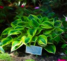 Agavaceae Hosta X Wide Brim by Jawaher