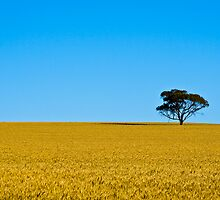 Field of Gold by Stephen Humpleby