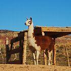 Llama by jsmusic