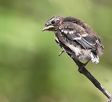 Grey Fantail fledgling ~ End of the line by Robert Elliott