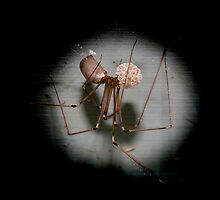 Mummy Daddy Long Legs by Steve  Woodman
