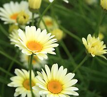 Yellow daisies by Victoria Kidgell