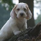 PBGV Puppy by Lolabud