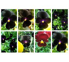 Violas Photographic Print