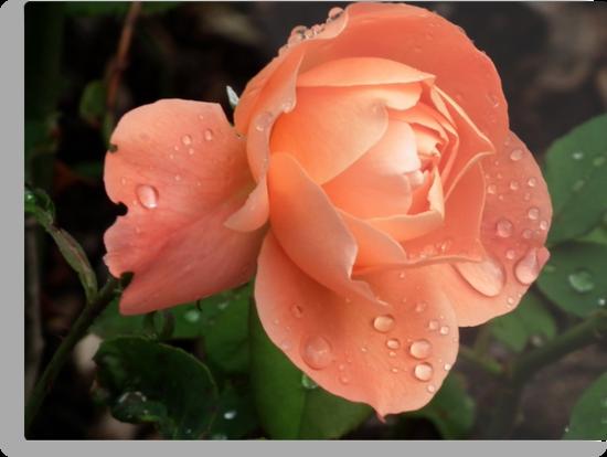 September Peach  Rose by lynn carter