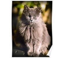 Gray Cat - Green Eyes Poster
