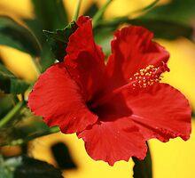 Hibiscus by Stephanie  Newbold
