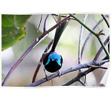 Varigated Fairy Wren 2 Poster