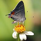 Grey Hairstreak by Virginia N. Fred