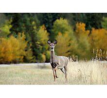 Saskatchewan Doe - Deer Photographic Print