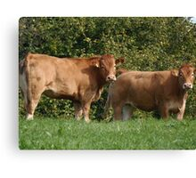 Cows Canvas Print