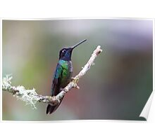 Magnificent hummingbird - Costa Rica Poster