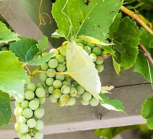 Grapes Under Arbor by dbvirago