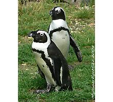 #586  Two Penguins Photographic Print