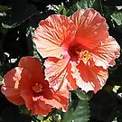 Hibiscus  by BarbBarcikKeith
