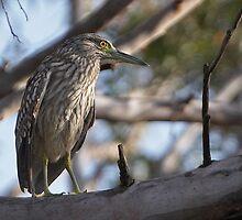 Nankeen Night-Heron (Juvenile) by Robert Elliott