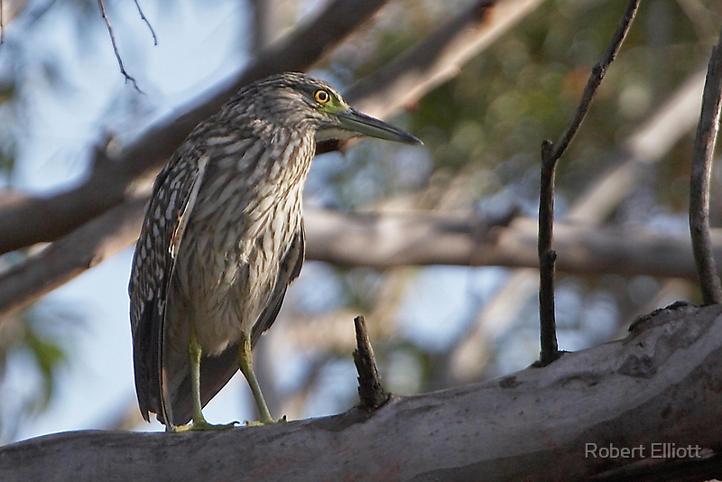 Nankeen Night-Heron (Juvenile) by Robert Elliott