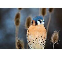 Adult Male American Kestrel Bird Photographic Print