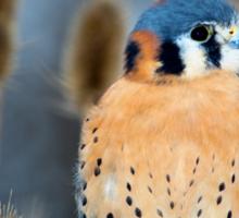 Adult Male American Kestrel Bird Sticker