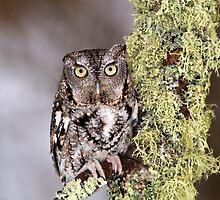 Eastern Screech Owl by Craig Sterken