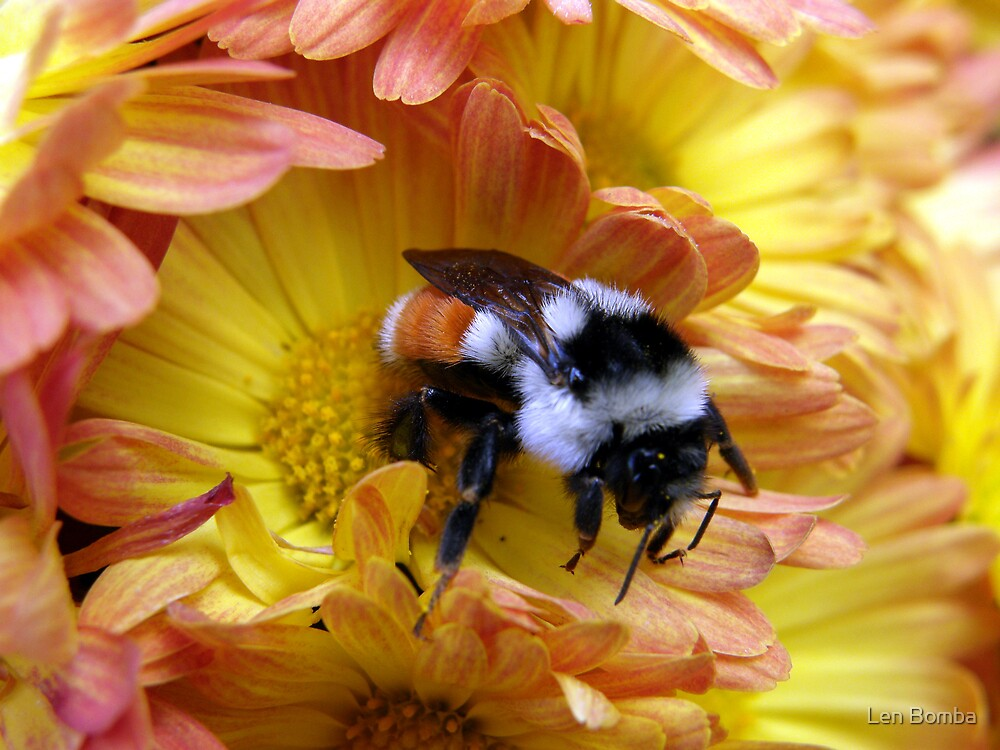 Color Coordinated Bumble by Len Bomba
