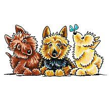 3 Australian Terriers Photographic Print