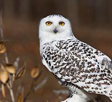 Snowy Owl with Autumn Foliage by Craig Sterken