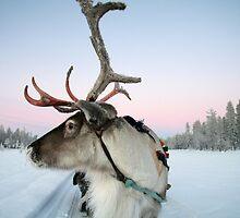 Lapland Reindeer by CalendaRus